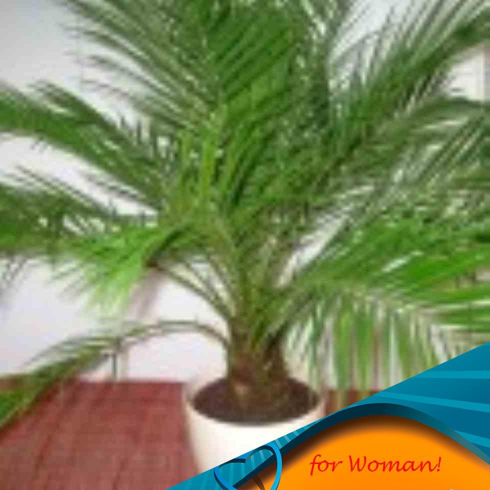 Как ухаживать за домашней пальмой в домашних условиях 85
